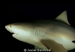 bull shark, nice and close by Javier Sandoval 